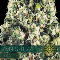 Amnesia Haze Auto Feminised Cannabis Seeds | Vision Seeds