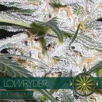 Lowryder Auto Feminised Cannabis Seeds | Vision Seeds