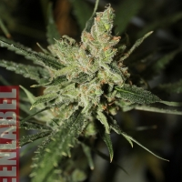 Automatic Amnesia Feminised Cannabis Seeds | GreenLabel Seeds