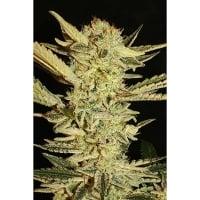 Automatic Fini Feminised Cannabis Seeds | Superstrains