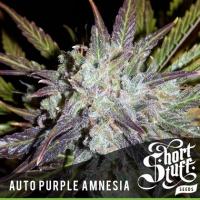 Auto Purple Amnesia Feminised Cannabis Seeds   Shortstuff Seeds