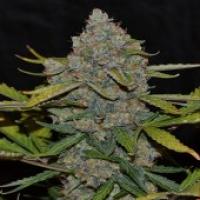 CBG Auto CBG Feminised Cannabis Seeds