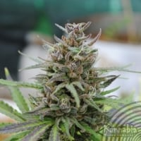 Baby Boom Auto Feminised Cannabis Seeds