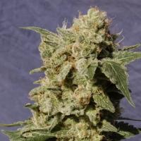 Diesel Glue Feminised Cannabis Seeds