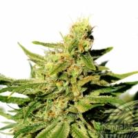 BCN Diesel CBD Feminised Cannabis Seeds