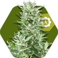 Big Bud XXL Auto Feminised Cannabis Seeds | Zambeza Seeds
