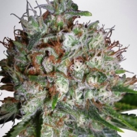 Big Bud XXL Feminised Cannabis Seeds | Ministry of Cannabis
