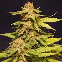 Big Bull Feminised Cannabis Seeds | Kannabia