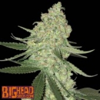 Buy Big Head Seeds Big Cheese Auto Feminised Cannabis Seeds