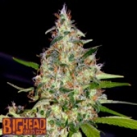 Buy Big Head Seeds Bubble Head #13 Feminised Cannabis Seeds