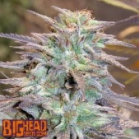 Buy BIg Head Seeds Easy AK XL Feminised Cannabis Seeds