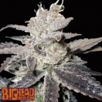 Buy Big Head Seeds Freeze Berry Auto Feminised Cannabis Seeds