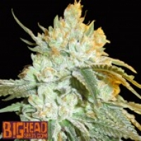 Buy Big Head Seeds Head Stash Auto Feminised Cannabis Seeds