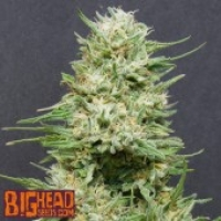 Buy Big Head Seeds Heavy Head Feminised Cannabis Seeds