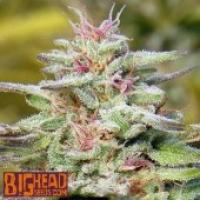 Buy Big Head Seeds THC Pro Feminised Cannabis Seeds