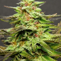Julie's Cookies Feminised Cannabis Seeds | Big Head Seeds