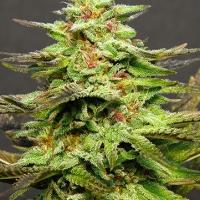 Julie's Cookies Feminised Cannabis Seeds   Big Head Seeds
