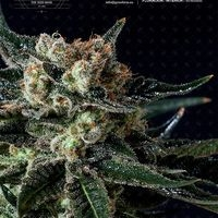 Black Diesel Feminised Cannabis Seeds