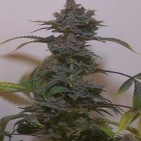 Black Russian Regular Cannabis Seeds | Hazeman Seeds