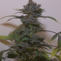 Black Russian Regular Cannabis Seeds | Hazeman Seeds
