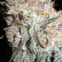 The Black Feminised Cannabis Seeds |  BC Bud Depot