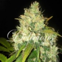 Black Russian Feminised Cannabis Seeds | Delicious Seeds