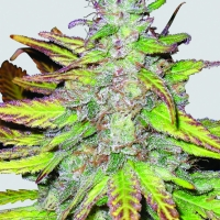 Blackberry Auto Feminised Cannabis Seeds | Fast Buds