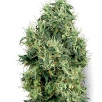 White Gold Regular Cannabis Seeds | White Label Seed Company