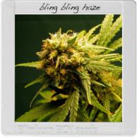 Blim Burn Seeds BCN Range - Bling Bling Haze Feminised Cannabis Seeds
