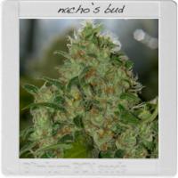 Blim Burn Nacho's Bud Feminised Cannabis Seeds For Sale