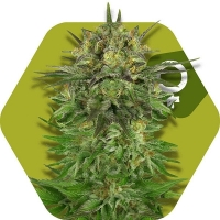 Blue Brilliant Feminised Cannabis Seeds | Zambeza Seeds