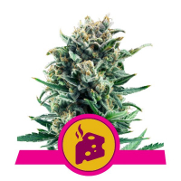 Blue Cheese Feminised Cannabis Seeds | Royal Queen Seeds