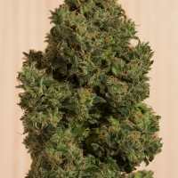 Blue Dream CBD Feminised Cannabis Seeds | Humboldt Seeds Organisation