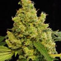 Blue Hash Feminised Cannabis Seeds | Dinafem Seeds