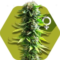 Blue Spider Feminised Cannabis Seeds | Zambeza Seeds