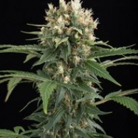 Blue Thai Feminised Cannabis Seeds | Dinafem Seeds