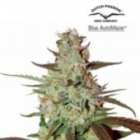 Blue AutoMazar Auto Feminised Cannabis Seeds | Dutch Passion