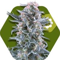 Blueberry Feminised Cannabis Seeds | Zambeza Seeds