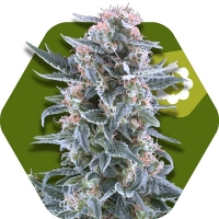 Blueberry Auto Feminised Cannabis Seeds | Zambeza Seeds
