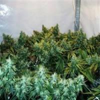 Brain's Choice Feminised Cannabis Seeds | KC Brains Seeds