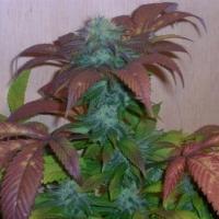 Breakout Regular Cannabis Seeds | Hazeman Seeds