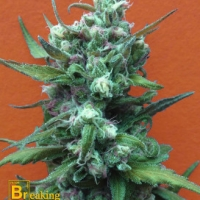 Big Whoop Auto Feminised Cannabis Seeds | Breaking Buds Seeds