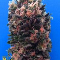 Blue Sky 99% Feminised Cannabis Seeds | Breaking Buds Seeds