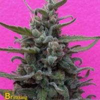 Brownie Auto Feminised Cannabis Seeds | Breaking Buds Seeds