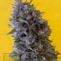 Cheeisenberg Feminised Cannabis Seeds | Breaking Buds Seeds