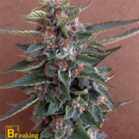Chocolate Cookies Feminised Cannabis Seeds | Breaking Buds Seeds