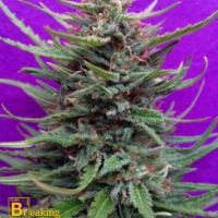 Cream Crystal Meth Feminised Cannabis Seeds | Breaking Buds Seeds