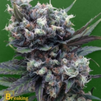 Malverde Feminised Cannabis Seeds | Breaking Buds Seeds