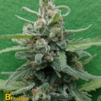 Soylent Green Auto Feminised Cannabis Seeds | Breaking Buds Seeds
