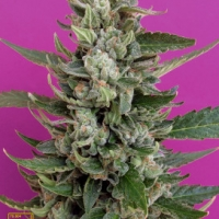 Strawberry Cream Feminised Cannabis Seeds | Breaking Buds Seeds
